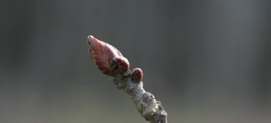 Quercus peduncolata
